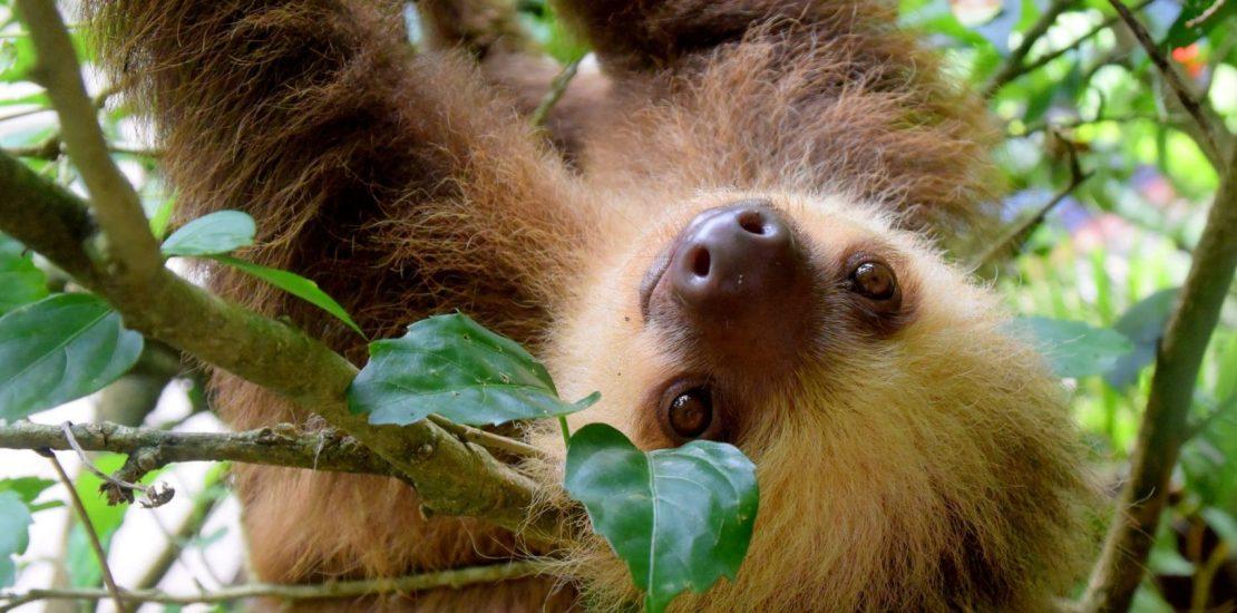 Conozca el Santuario de osos perezosos de Costa Rica